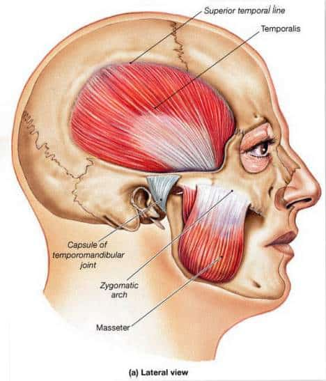 tmj muscles diagram 1